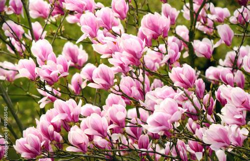 magnolien am baum von smileus lizenzfreies foto 49368548. Black Bedroom Furniture Sets. Home Design Ideas