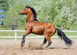 Rearing bay stallion of Ukrainian riding breed