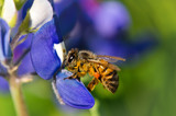 Bee collecting pollen from bluebonnets
