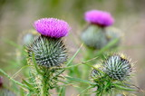 Fototapety Scottish thistles
