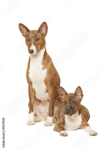 two basenji dogs isolated on white background