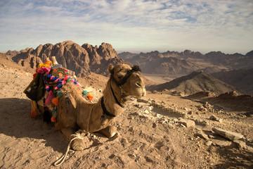 Climbing Mount Sinai, camel, Egypt
