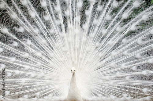 White peacock with feathers out