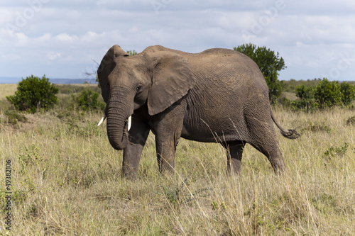 Elephant at Maasai Mara National Park, Kenya