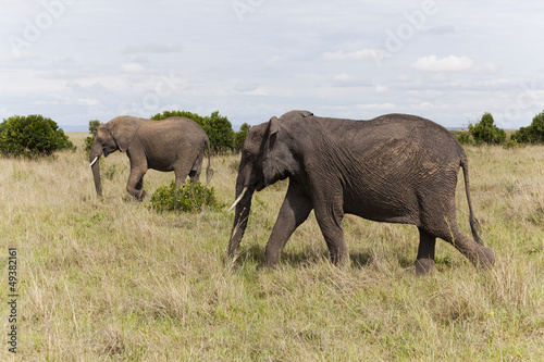 Elephants at Maasai Mara National Park, Kenya