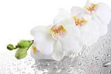 Fototapete Orchideen - Drops - Blume