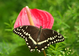 Swallowtail Butterfly on Pink Flower