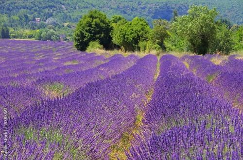 Lavendelfeld - lavender field 104