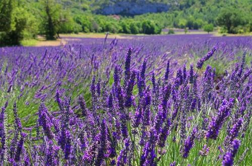 Lavendelfeld - lavender field 106 - 49385381