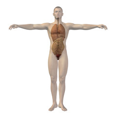 High resolution conceptual 3D human structure, internal organs