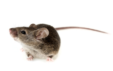a mouse isolated on white background