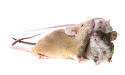 three cute little mice isolated on a white background