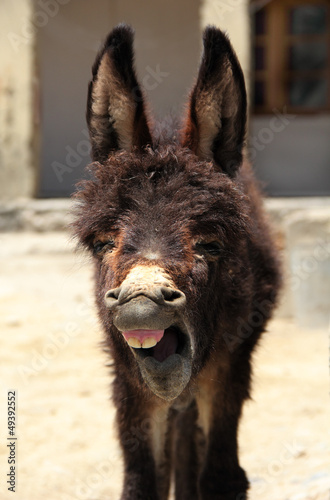 Portrait of young yawning donkey in Nubra valley, Nothern India