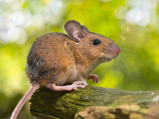 Field Mouse (Apodemus sylvaticus)