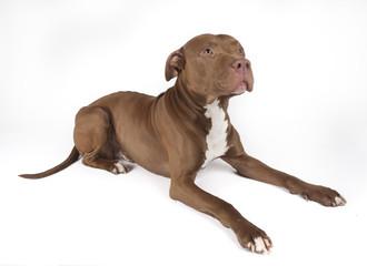 Pitbull sitting on white background