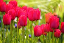 Frühlingsanfang - Rote Tulpen im Sonnenlicht