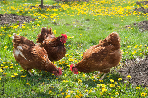 Tuinposter Kip laying hens in the yard