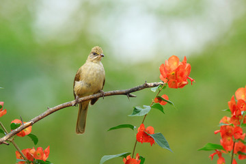 Streak-eared Bulbul on branch with red flower