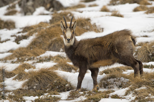 An isolated chamois deer in the snow background