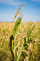 Ripe corn