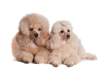 Two poodles on a white background