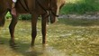 Horse drinking water from a river. Close-up