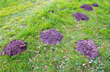 molehills on green grass in autumn garden