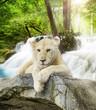 Obrazy drukowane na płótnie, fototapety, zdjęcia, fotoobrazy cyfrowe : White lion
