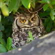 Spotted Eagle Owl Portrait