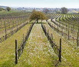 Ethereal landscape of vineyard in spring