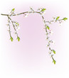 white cherry flower branches on pink