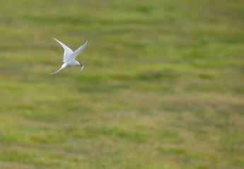 Arctic Tern flying with a fish in its beak