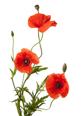 three red poppies isolated on white