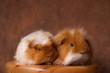duo de cobayes roux et blanc