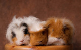 trio de cobayes