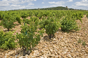 Vineyard from Chateauneuf du Pape. Provence. France,
