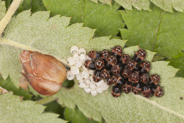 Newly hatched shieldbugs and eggs, high magnification