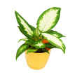House plant in a yellow pot, dieffenbachia camilla