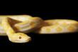 Tiger Albino Python