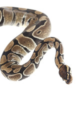Royal Python on white background