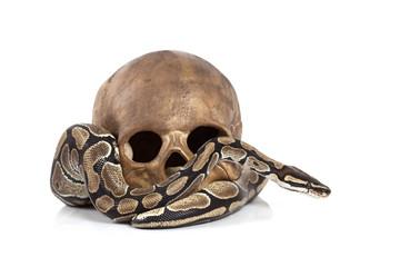 Royal Python with skull