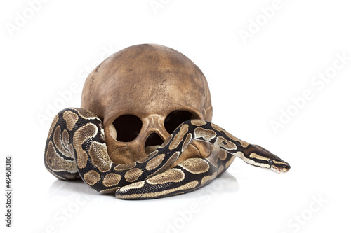 Royal Python with skull