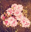 Vintage Rhododendron