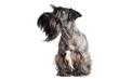 funny grey bearded dog portrait