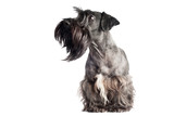 funny grey bearded dog portrait