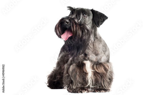 cesky terrier dog portrait
