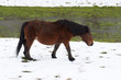 horse grazing in a snowy field