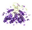 fresh violet lavender flowers over white