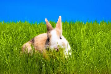 brown rabbit eating grass