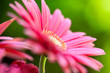 Pink gerbera daisy in the garden